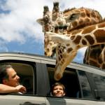 Vive una experiencia extraordinaria en Africam Safari