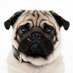 Guía de razas: Perro Pug