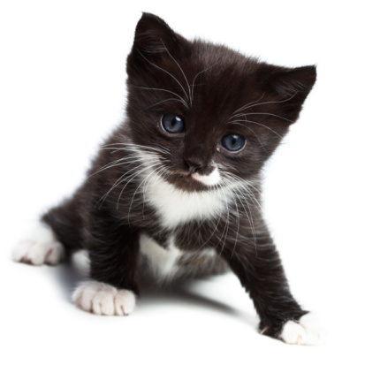 Los gatos como mascota
