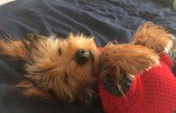 perro de raza pequeña en época de frío